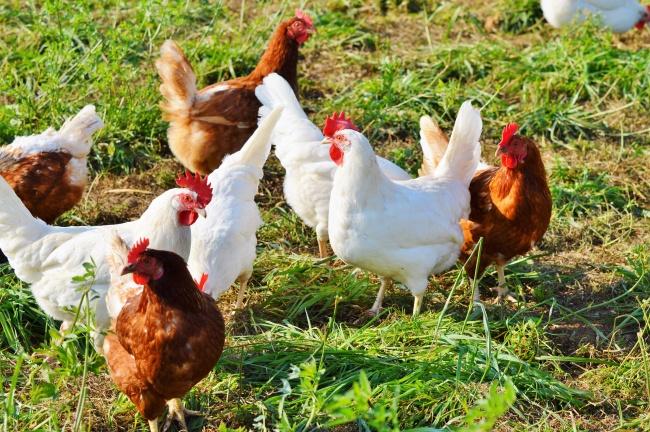 农场里的鸡