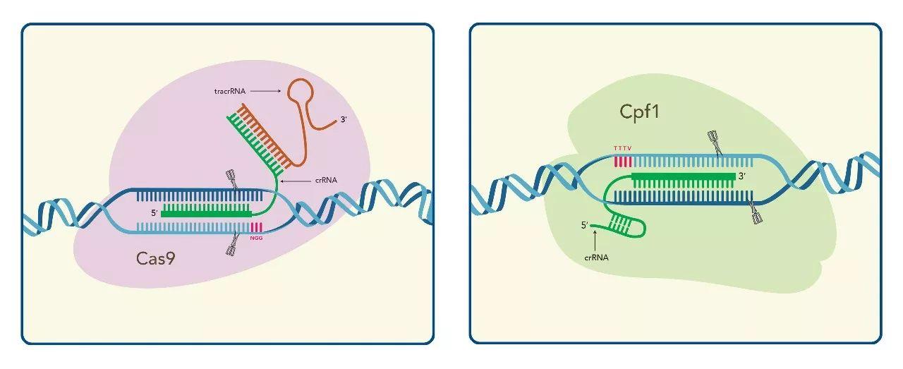 CRISPR基因编辑简介