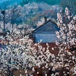 · 杏花美景 ·