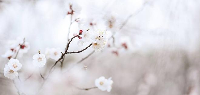杏花女神告诉你杏花饲养要留神的事项有哪些?已答复