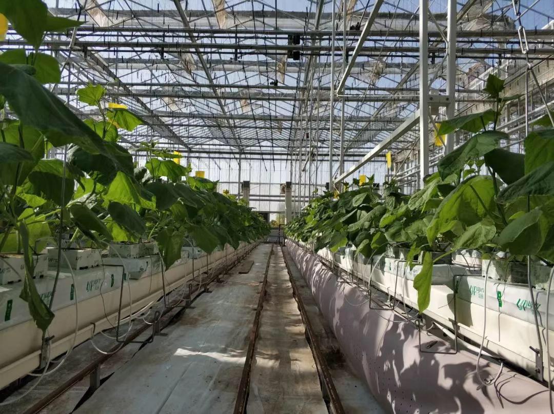 爱圃农用岩棉温室种植黄瓜