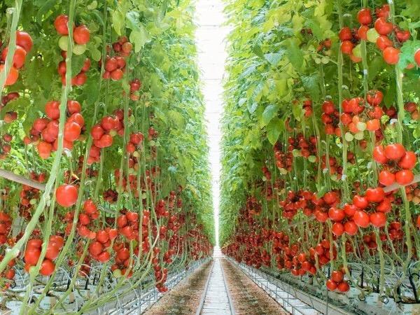 爱圃农用岩棉番茄种植