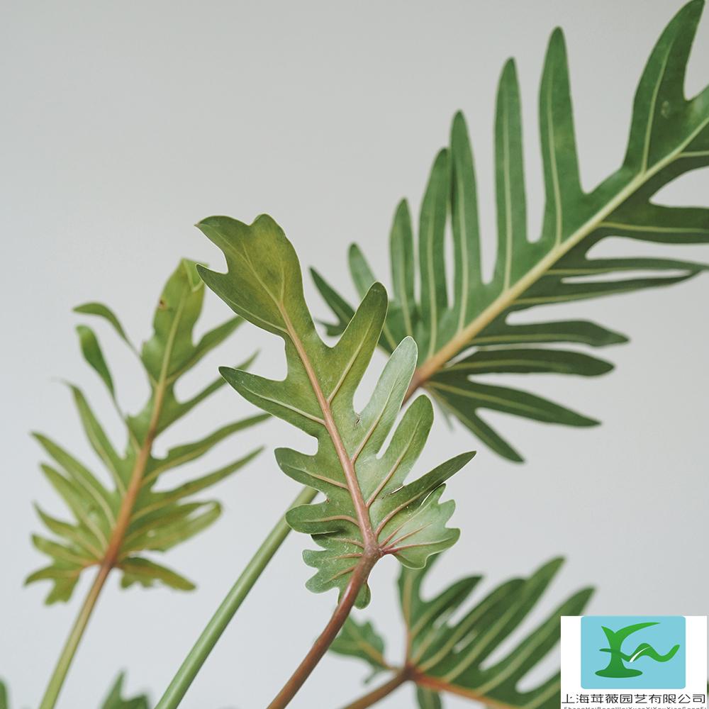 叶小而幽雅,四季葱翠,绿意盎然,叶态奇特,大方清雅,富热带雨林气氛,是室内主要的观叶植物。