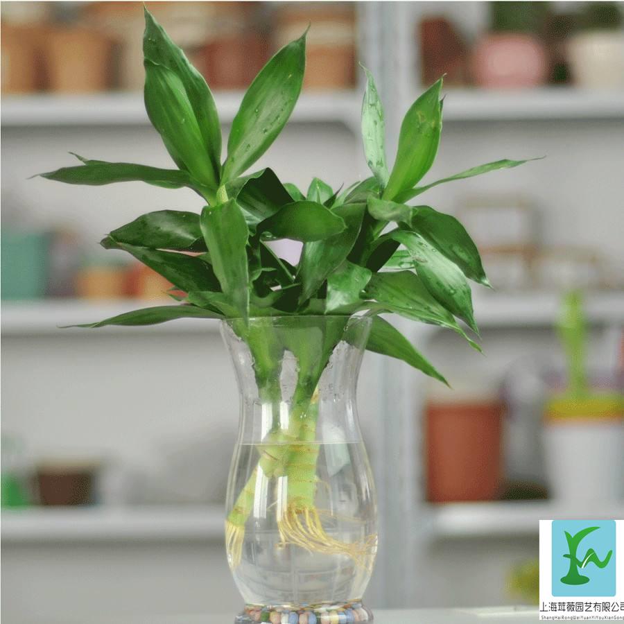 水培富贵竹