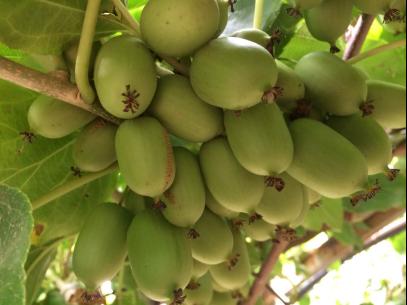丹東軟棗獼猴桃在樹上