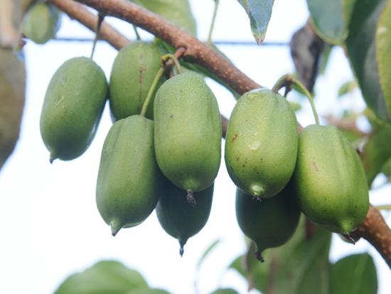 丹東軟棗獼猴桃還在樹上