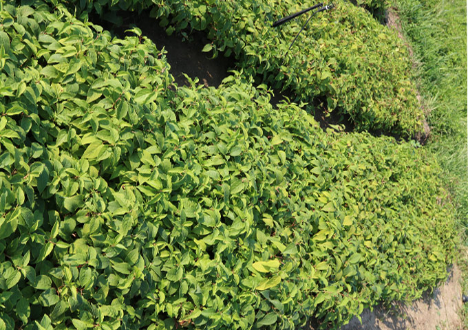 奇异莓苗种植方法