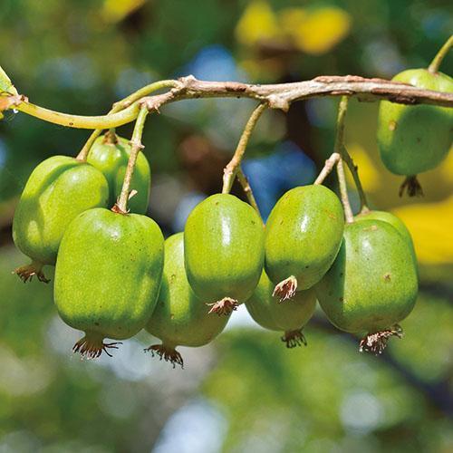 大自然的馈赠-奇异莓