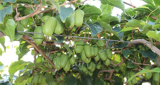 丹东软枣猕猴桃种植基地图片展示