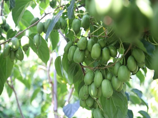 软枣猕猴桃栽培技术