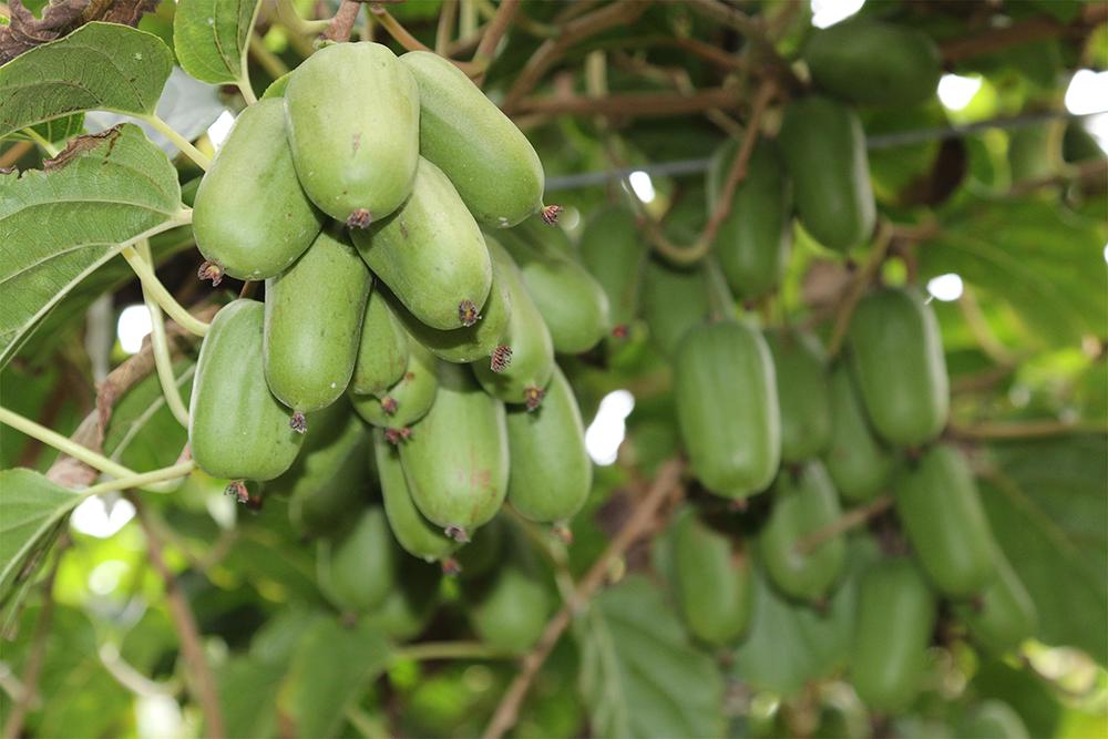 成簇的丹東軟棗獼猴桃,正在接受大自然的洗禮。