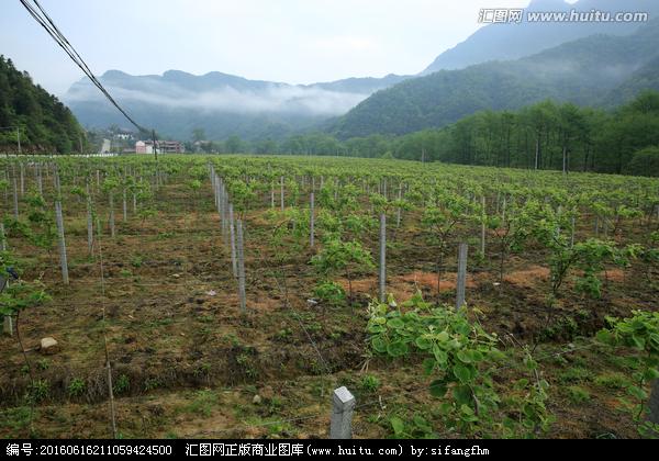 奇异莓苗的繁殖方法