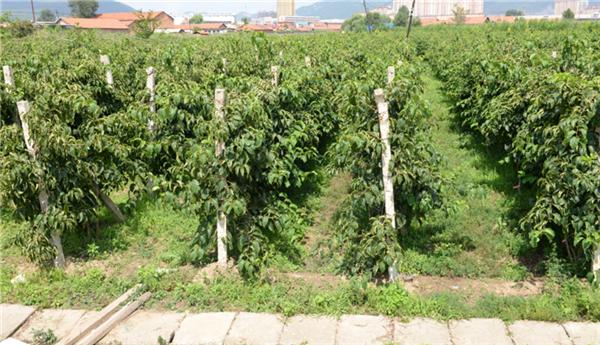软枣猕猴桃冬季管理要点
