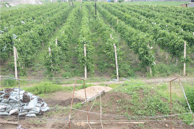 软枣猕猴桃苗种植会出现冻害的原因