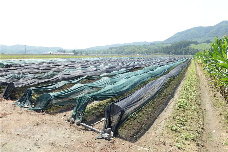 已经形成规模的丹东软枣猕猴桃种植苗木基地