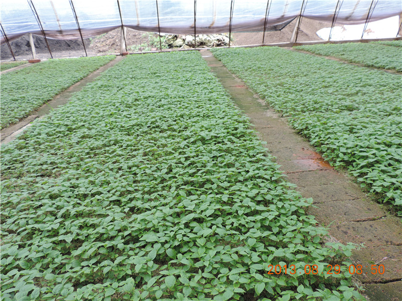 软枣猕猴桃苗种植图片