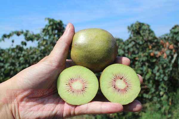 软枣猕猴桃的专属栽植方法