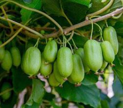 软枣猕猴桃苗生草的好处