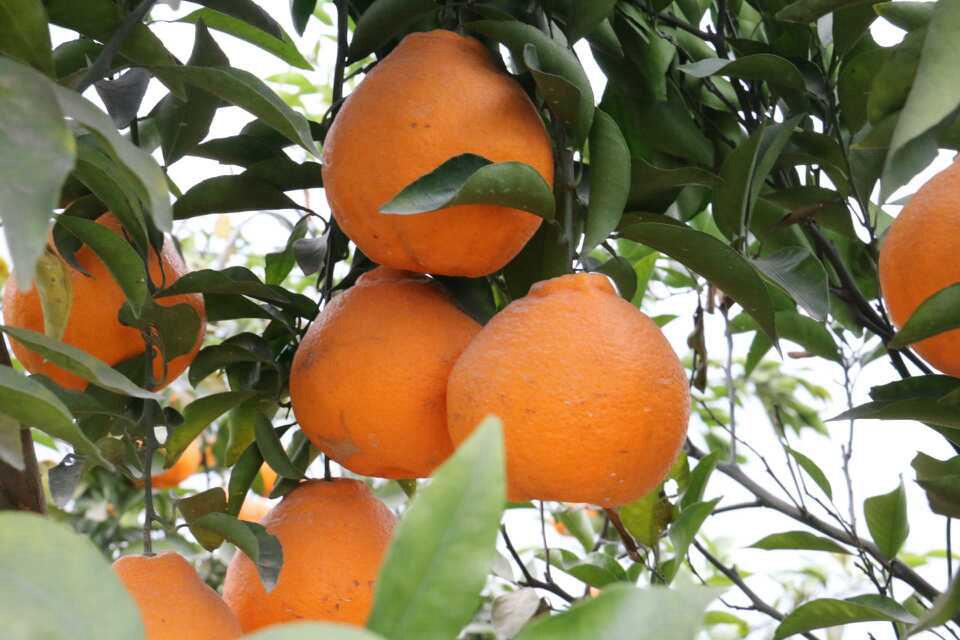 如何给柑橘科学施肥