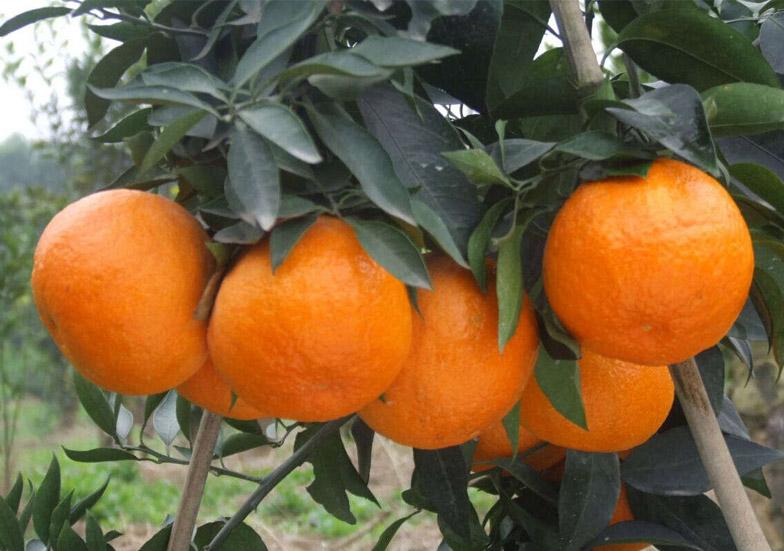 爱媛38号柑橘苗