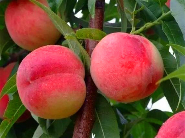 桃原漿生產線