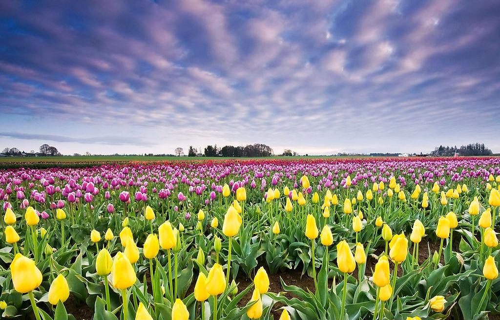 长春花卉采购教您区分月季和玫瑰