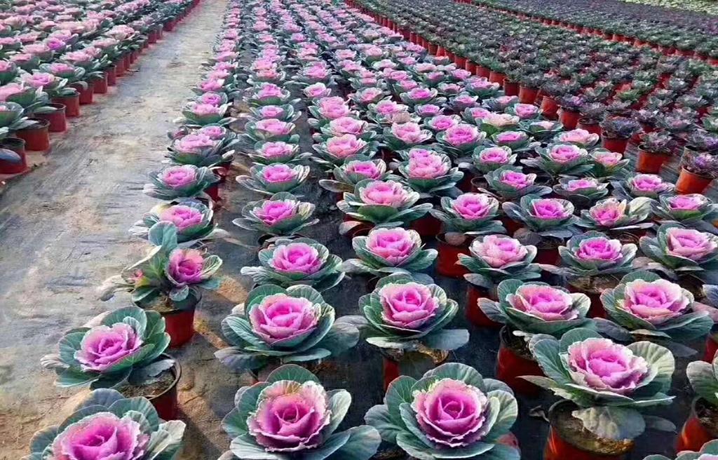 长春花卉采购分享月季养殖技巧