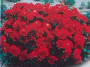 地被菊(红)