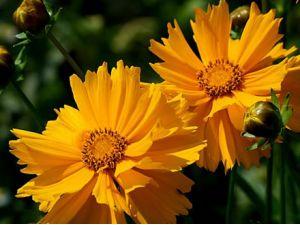重瓣金鸡菊