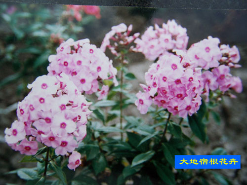 浅粉色锥花福录考