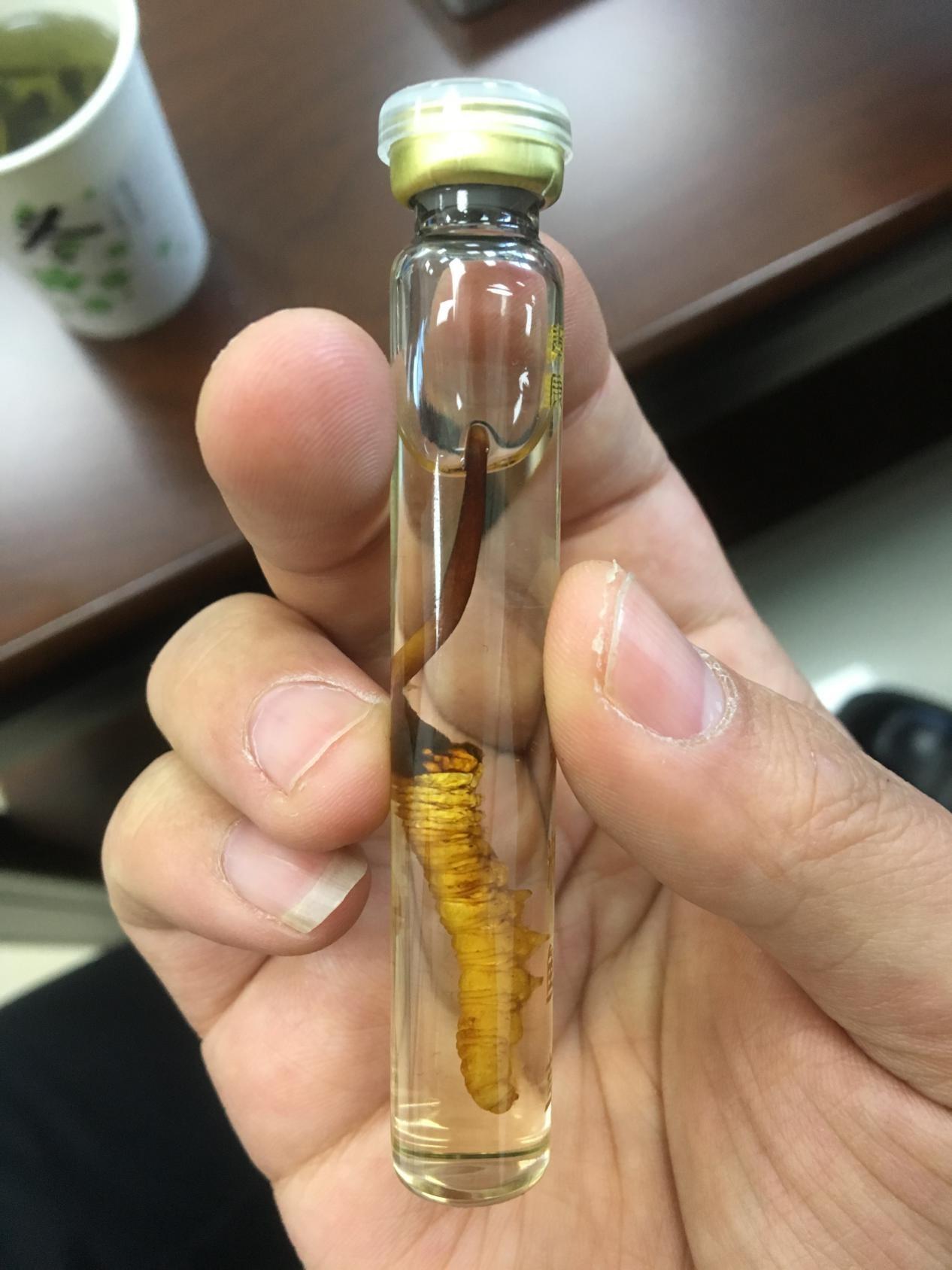 青海蛹蟲草