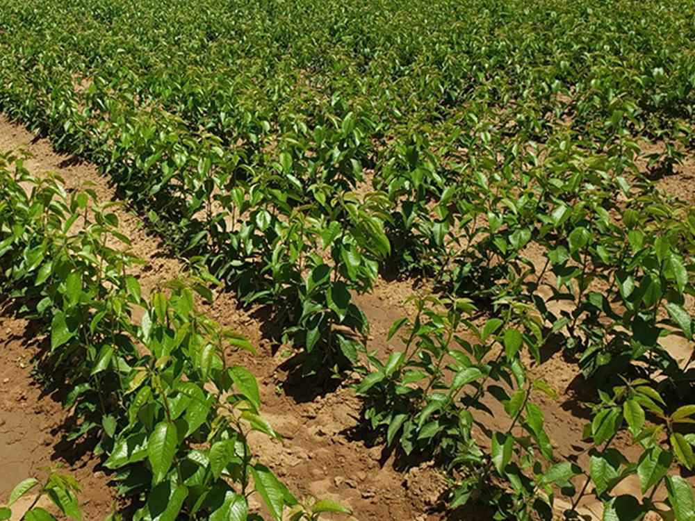 大樱桃苗的拉枝管理应注意什么