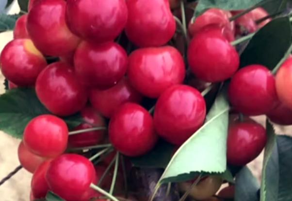 美国大红大樱桃苗