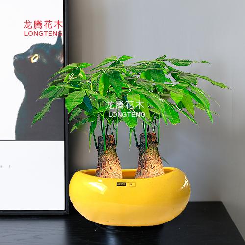 深圳发财树采购