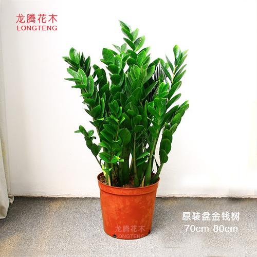 深圳金錢樹供應商
