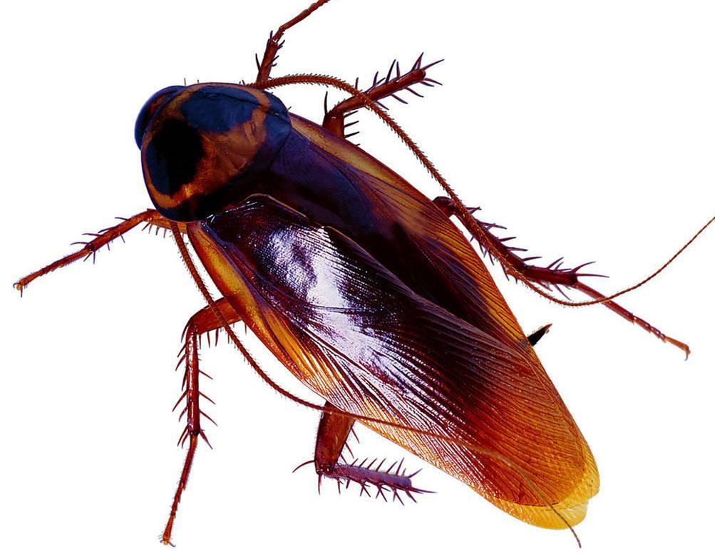 蟑螂一般喜欢躲在哪里,怎么消灭蟑螂