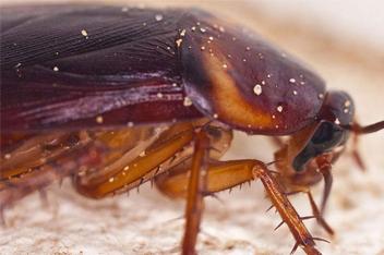 蟑螂是如何产生的,以及蟑螂怎么消灭才能彻底
