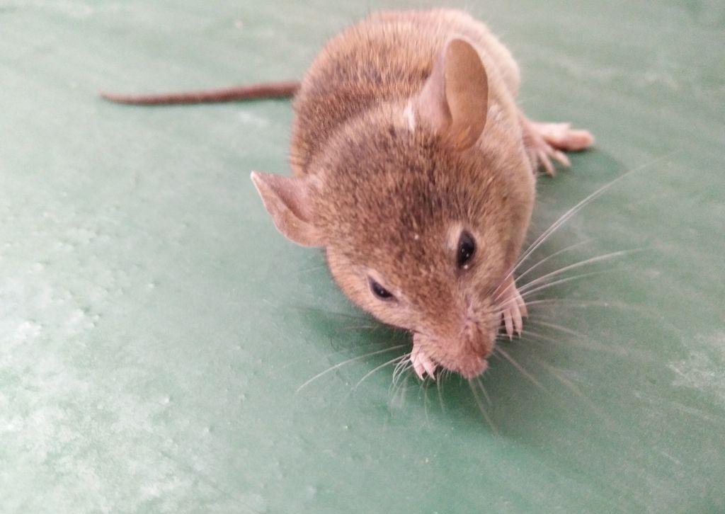 被老鼠咬伤后该怎么办