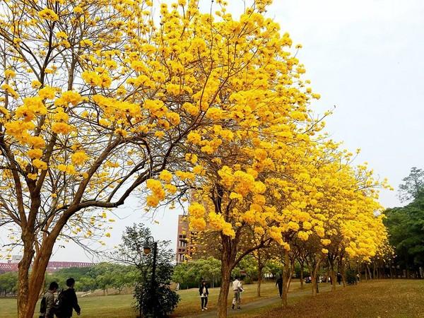 成都黄花风铃木苗木基地开花,美得成为网红圣地