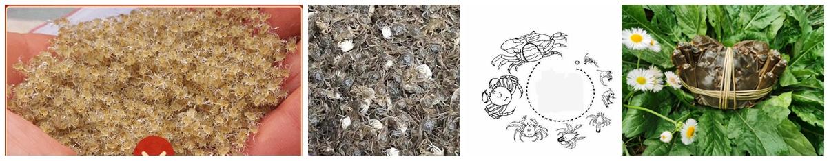 上海宏春大闸蟹生长过程