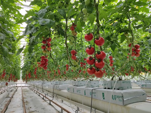 传统土壤种植