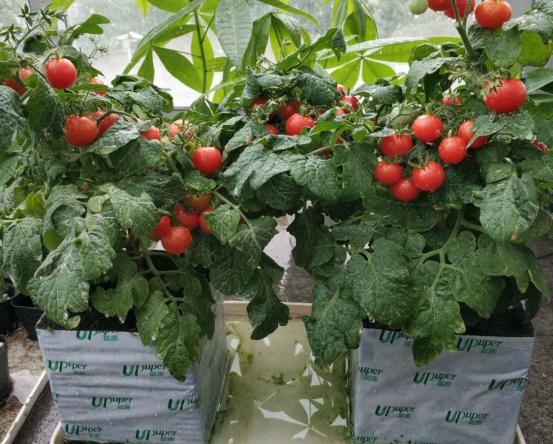 爱圃岩棉盆栽番茄