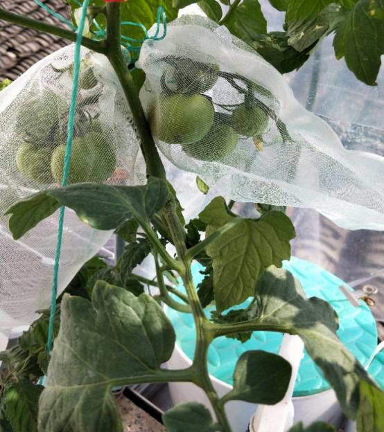 爱圃岩棉客户种植番茄