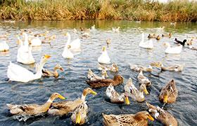 养鸭子如何注意疾病防治