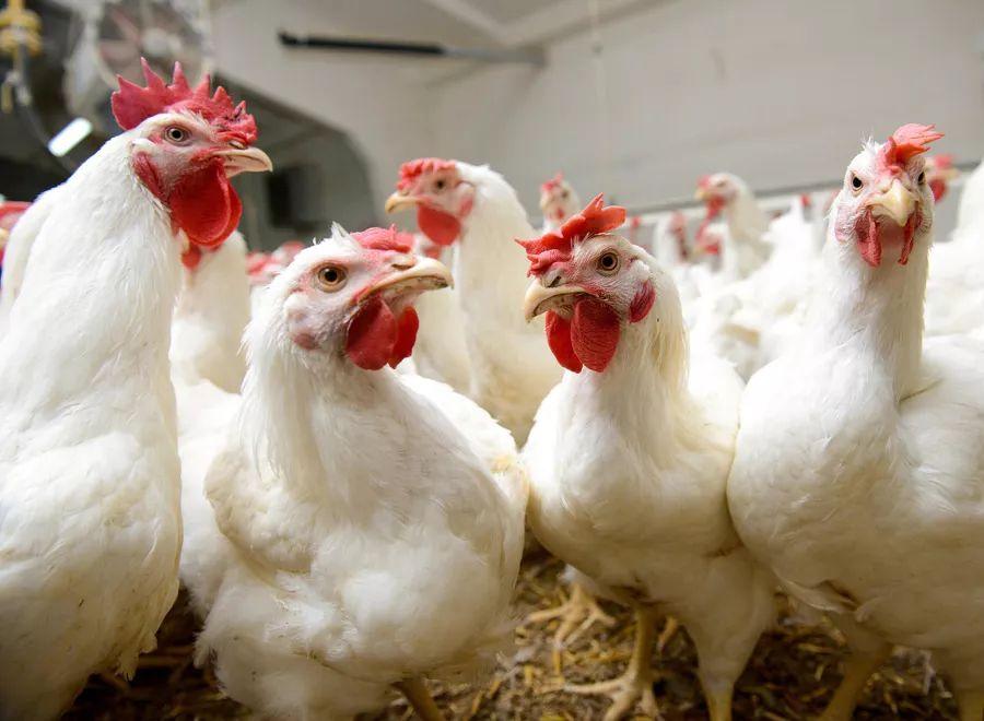 中国香港暂停进口越南金瓯省禽肉及禽类产品