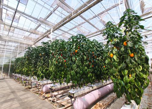甜椒最佳种植季-增产且抗病的新型种植方法值得收藏