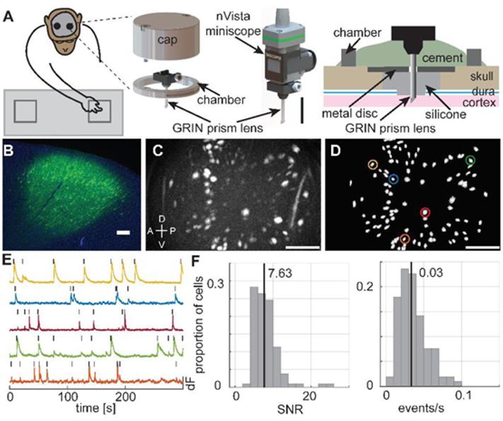 非人灵长类的研究又有新进展!!!科学家使用Inscopix在自由活动的恒河猴上进行神经元成像