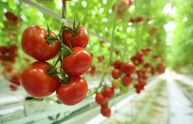 温室番茄种植一旦出现这些症状,请一定要警惕!-爱圃种植岩棉