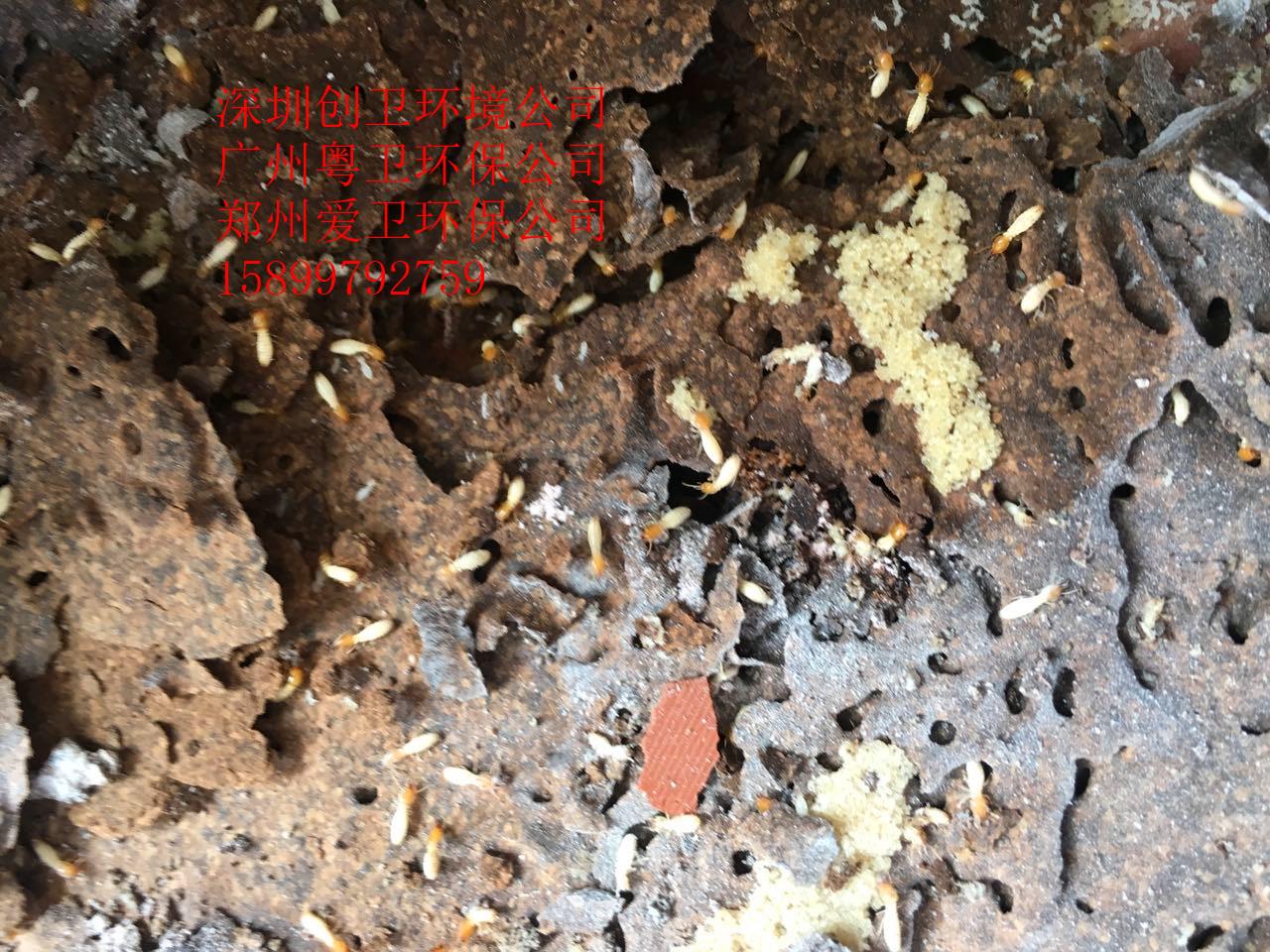 白蚁高发期 深圳灭白蚁公司创卫环境专业处理