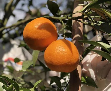 这一轮各地柑橘表现如何